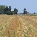 Regalarán semilla a productores en Cuerámaro