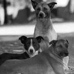 Perros callejeros son un riesgo para la salud pública