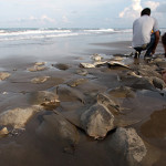 Aparecen cientos de mantarrayas muertas en Chachalacas
