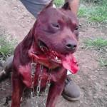 Echa a pelear perros hasta la muerte y lo sube al Face