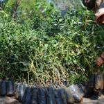 5 mil árboles para reforestar Cuerámaro