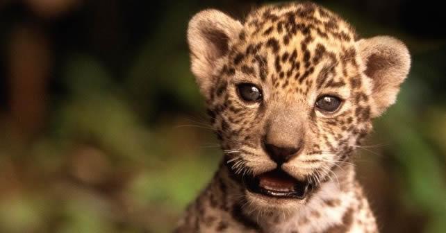 Animales Felino Leopardos Fondo De Pantalla Fondos De: Jaguar Archivos