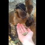 Mono enseña a humano como aplastar hojas secas