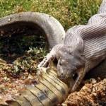 Una serpiente devora a un cocodrilo