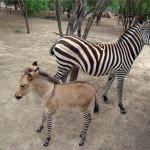 "Se ""raya"" burro, nace el primer cebrasno en México"