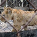 Cachorro León continuará en el zoológico de Irapuato