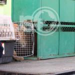 Confiscan león en Irapuato; implementan gran operativo (Video)
