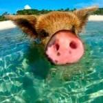 Nadar con cerdos está de moda