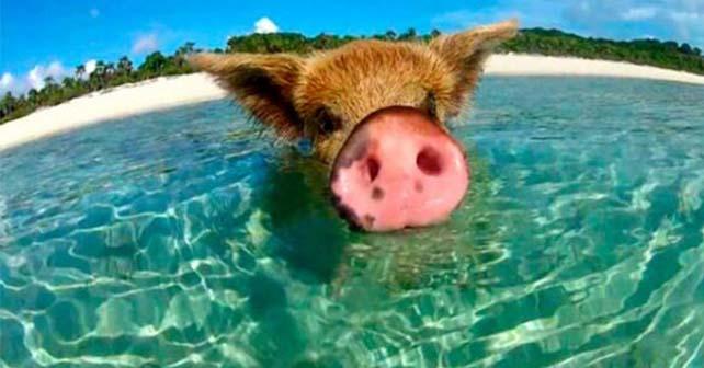 nadar-cerdos