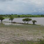 El campo de Pénjamo se encuentra siniestrado por exceso de lluvias