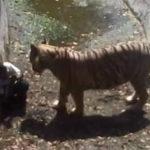 Tigre devora a un joven en zoológico de la India (video)