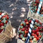 Ahora sí iniciará el Mercado de la Fresa