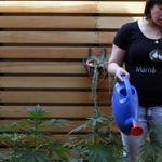 Plantan marihuana para medicar a sus hijos