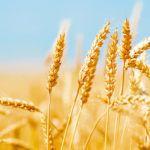"Fusarium ""ataca"" trigo y cebada"