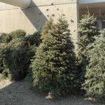 Inicia recolección de árboles navideños