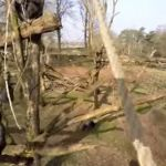 Tushi, la chimpancé que se creía King Kong (video)