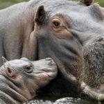 El prometer no empobrece… ni siquiera prometer hipopótamos