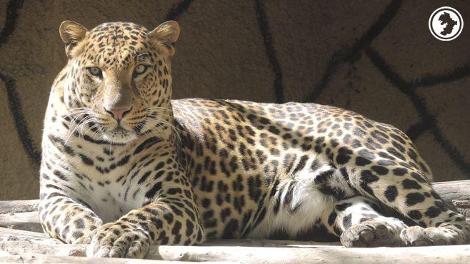 Photo of Nilo y Boni van a ser papás de leopardos africanos
