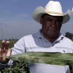 """Pulgón """"invade"""" Guanajuato; agricultores piden que se declare contingencia"""