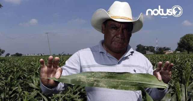 """Photo of Pulgón """"invade"""" Guanajuato; agricultores piden que se declare contingencia"""