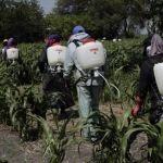 """200 mil ha de sorgo afectadas por el """"pulgón amarillo"""""""