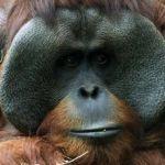 "Muere ""Jambi"", orangután de Chapultepec"