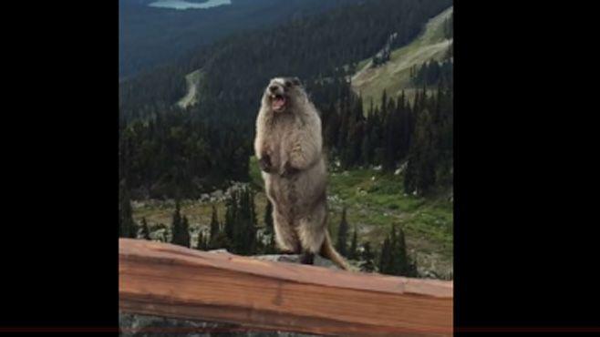 marmota chillido