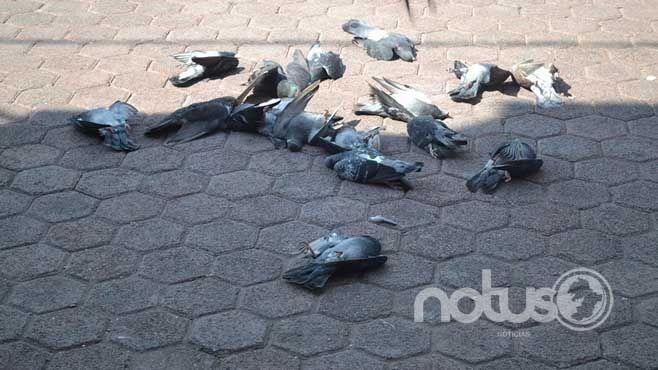 Photo of Asesinan a palomas, previo a al festejo del Grito de Independencia