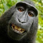 """Niegan derechos de autor al mono que se hizo un """"selfie"""""""