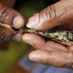 Proponen tolerar portación de hasta 12 churros de mariguana