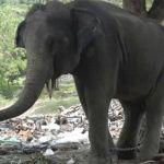 """""""Rambo"""" el elefante mata a turista en Tailandia"""