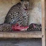 Animales de zoológico abandonados recurren al canibalismo