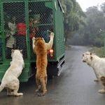 """""""Un mundo al revés"""": Animales libres y visitantes enjaulados en un zoo"""