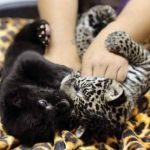 Nacen dos jaguares en Zoo Irapuato
