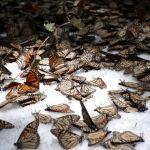 La mariposa monarca en aprietos por nevadas