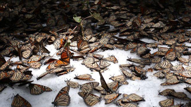 Photo of La mariposa monarca en aprietos por nevadas