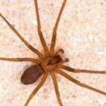 Reportan 3 muertos por picadura de araña violinista