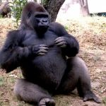 Ahora un gorila… sacrificado para salvar a un niño