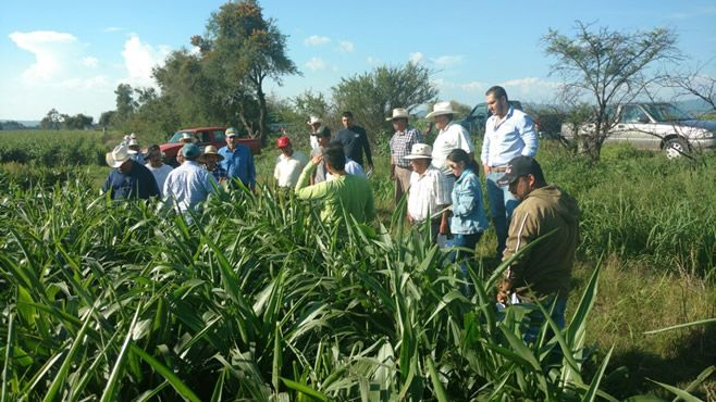 Photo of Capacitan contra pulgón amarillo a agricultores de Cuerámaro