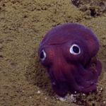 Encuentran tierno calamar morado que parece de juguete