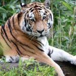 Tigre suelto causa terror en Kobén Campeche