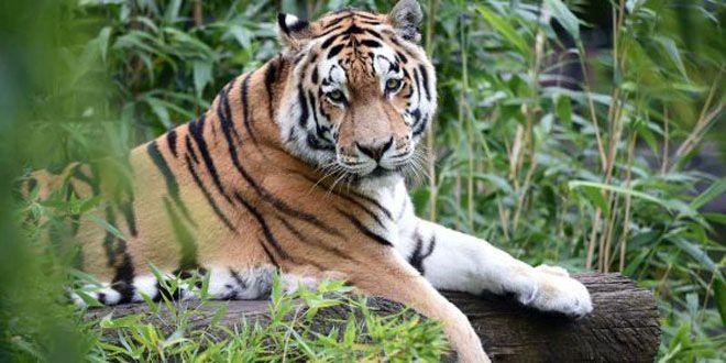 Photo of Tigre suelto causa terror en Kobén Campeche