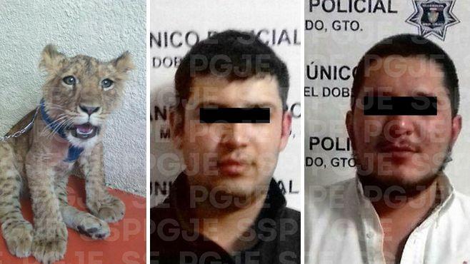 Photo of Aseguran cachorro de tigre y detienen a cuatro personas en Manuel Doblado