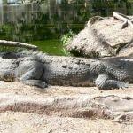 Capturan cocodrilos en El Rosarito, Sinaloa