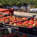 Desde Francia a Irapuato, llegada de la fresa
