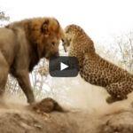 """Impactante video entre un leopardo y el """"rey de la selva"""""""