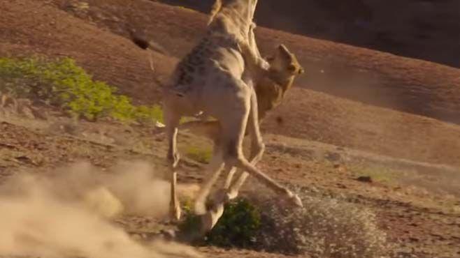 jirafa-leones