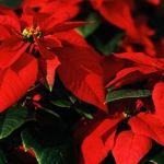 Nochebuena…la flor
