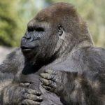 "No hubo negligencia en la muerte del gorila ""Bantú"""