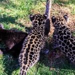 Tres nuevos bebés jaguares en el Zoo Ira